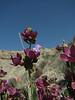 Salvia hydrangea (Aq tappeh, N of Bojnurd, Kopet Dag)