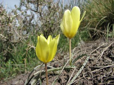 Tulipa montana var. chrysantha (Saidabad - Firuzkuh, Elburz Mountains)