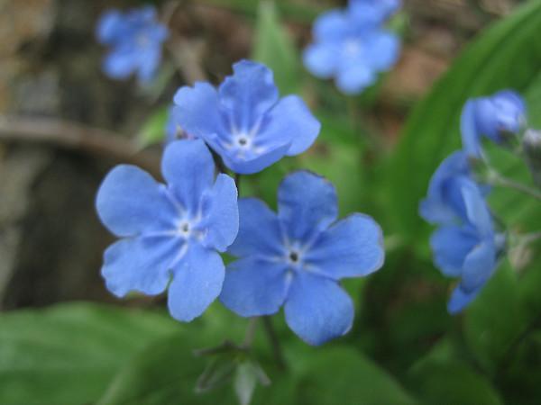 Boraginaceae