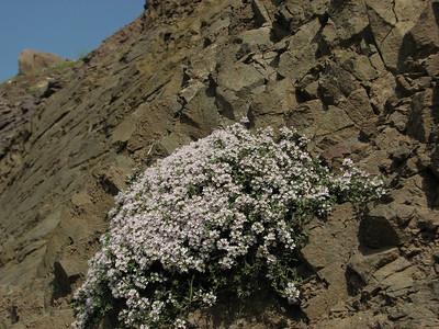 Thymus pubescens (Sendan mountains, near Gilavan, W of Sefid Rud Reservoir, Qazvin Province)