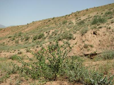 Zygophyllum megacarpum (Sendan mountains, near Gilavan, W of Sefid Rud Reservoir, Qazvin Province)
