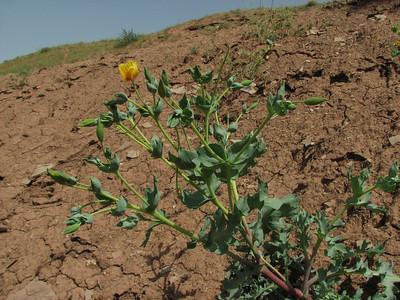 Glaucium oxylobum (Sendan mountains, near Gilavan, W of Sefid Rud Reservoir, Qazvin Province)