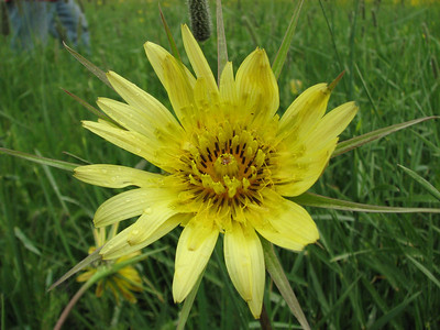 Tragopogon spec. (Maein Bolagh near Choplu 1700m, Kurdistan Province)