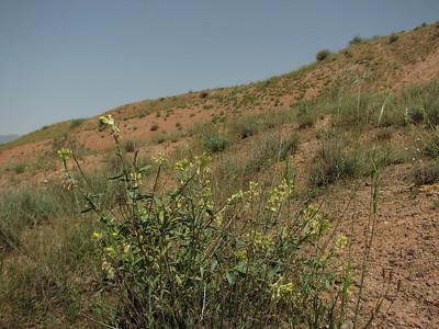 Dendrostellera lessertii (Sendan mountains, near Gilavan, W of Sefid Rud Reservoir, Qazvin Province)