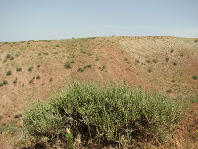 Salicornia europaea? (Sendan mountains, near Gilavan, W of Sefid Rud Reservoir, Qazvin Province)