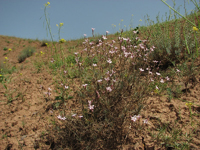 Acantholimon spec. (Sendan mountains, near Gilavan, W of Sefid Rud Reservoir, Qazvin Province)