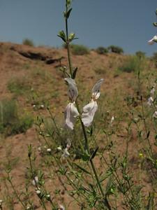 ? (Sendan mountains, near Gilavan, W of Sefid Rud Reservoir, Qazvin Province)