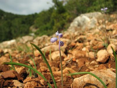 Muscari parviflorum (Serinyol - Hassa, Hatay Province, S Turkey)