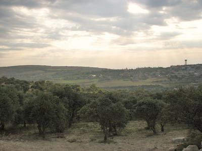 Olea europaea (Adana - Serinyol, Hatay Province, S Turkey)