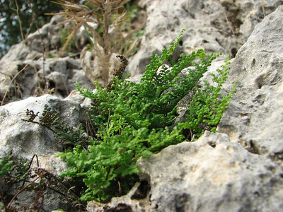 Cheilanthes fragrans (Serinyol - Hassa, Hatay Province, S Turkey)