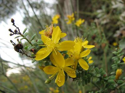 Hypericum spectabile? (Adana - Serinyol, Hatay Province, S Turkey)
