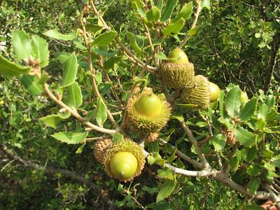 Quercus coccifera (Adana - Serinyol, Hatay Province, S Turkey)