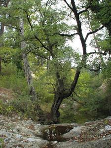 Alnus orientalis (between Fethiye and Gölhisar, SW Turkey)