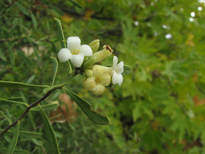 Daphne gnidioides (between Fethiye and Gölhisar, SW Turkey)