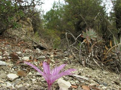 Colchicum variegatum - note the reflexed tepals (between Fethiye and Gölhisar, SW Turkey)