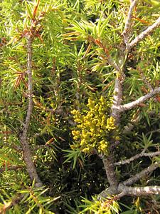 Arceuthobium oxycedri on Juniperus oxycedrus ssp. oxycedrus, photograph by Marijn van den Brink  (along road from Manisa on Spil Dağı, about 1000m altitude)