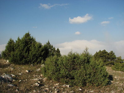 Juniperus excelsa (along road from Manisa on Spil Dağı, about 1000m altitude)