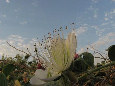 Capparis spinosa (between Tehran and Quom)