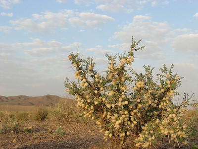 Astragalus glaucanthos (between Tehran and Quom)