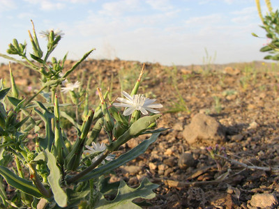 Silene? (between Tehran and Quom)
