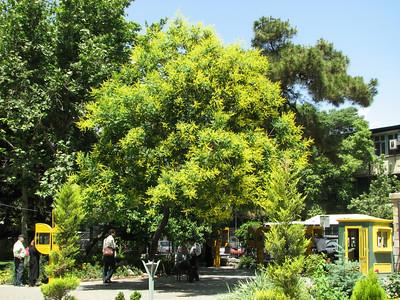Koelreuteria paniculata in a Park in Tehran