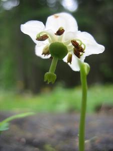 Moneses uniflora (Bärental, Karawanken)
