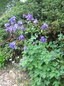 Aquilegia vulgaris? (Bärental, Karawanken)