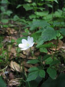 Anemone trifolia (Bärental, Karawanken)