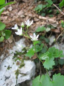 Saxifraga rotundifolia (Bärental, Karawanken)
