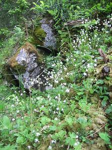 Saxifraga cuneifolia ssp. robusta (Bärental, Karawanken)