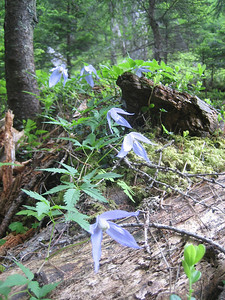 Atragene alpina, syn. Clematis alpina (Bärental, Karawanken)