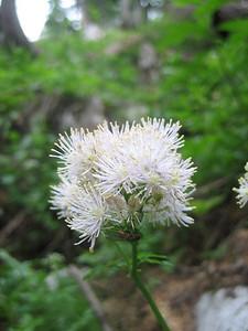 Thalictrum aquilegiifolium (Bärental, Karawanken)