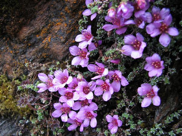 Saxifragaceae