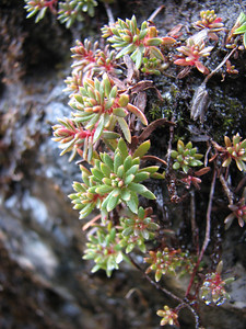 Saxifraga aizoides (Ben Lawers)
