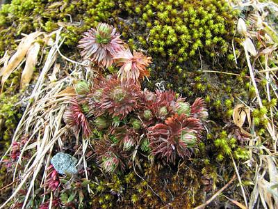 Saxifraga hypnoides (Ben Lawers)