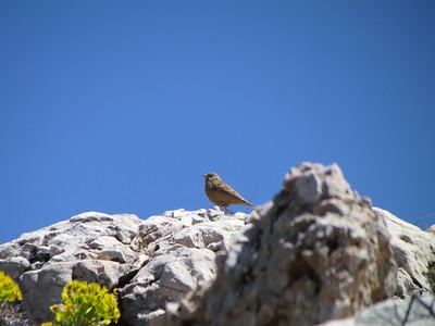 The Ortolan, or Ortolan Bunting, Emberiza hortulana, a bird in the bunting family Emberizidae