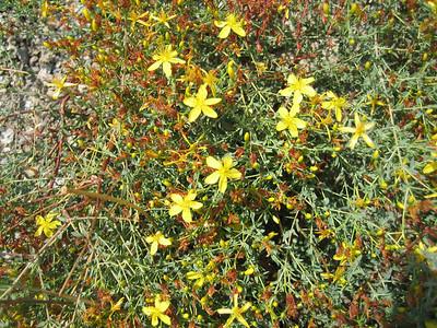 Hypericum spec. (Lasithi Plateau)