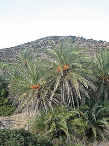 Phoenix theophrastii - Cretan Date Palm (at the beach in Vai)