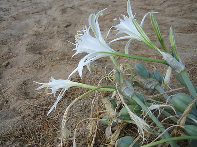 Pancratium maritimum (near a beach between Hersonisos and Iráklio)