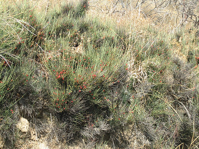 Osyris alba (Lasithi Plateau)