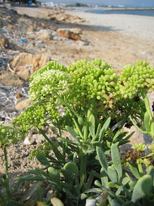 Crithmum maritimum (near a beach between Hersonisos and Iráklio)