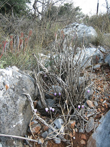 Cyclamen graecum ssp. candicum (near the Lasithi Plateau)