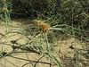 Cyperus capitatus