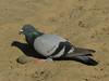 Pigeon/ dove?