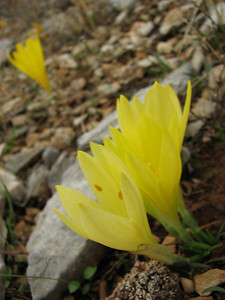 Sternbergia sicula - unusual pale form (lower eastern slopes of Mt. Imittos, east of Athens)