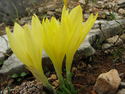 Sternbergia sicula (lower eastern slopes of Mt. Imittos, east of Athens)