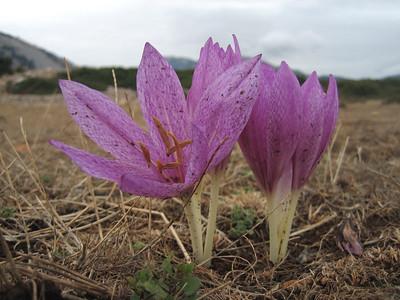 Colchicum bivonae (lower slopes of Mount Elikonas, Atttica)