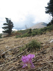 Colchicum bivonae (lower slopes of Mount Elikonas, Atttica)