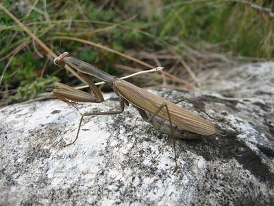 Mantis religiosa, Praying Mantis in English, Europese bidsprinkhaan in Dutch (near Litochoro at the foot of Mount Olympus)