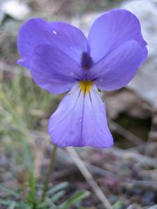 Viola spec. (near refuge A, Mount Olympus)